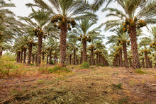 Orchard With Palm Date Trees.