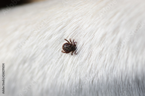 Photo Tick insect parasite attacking dog. Hard tick (Ixodes) on dog fur