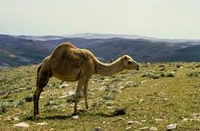 Dromadaire, Camelus Dromedarius, Grand Atlas, Maroc