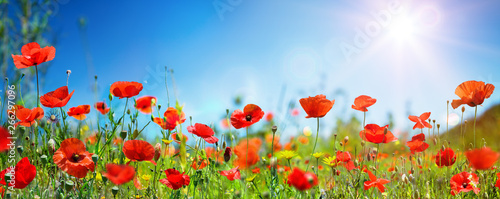 Staande foto Poppy Poppies In Field In Sunny Scene With Blue Sky