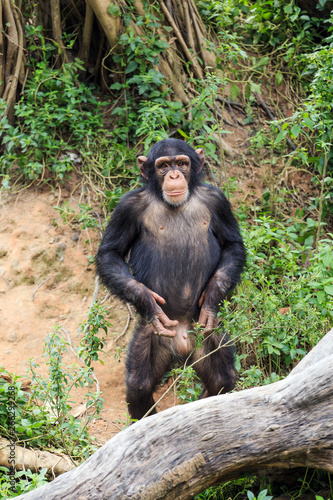 Photo Cute naughty chimpanzee