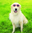 canvas print picture - Portrait close-up Golden Retriever dog in sunglasses on grass in summer day