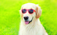 Portrait Close-up Golden Retriever Dog In Sunglasses On Grass In Summer Day