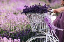 A Bouquet Of Lavender In A Basket On A Bicycle In A Lavender Field A Girl Holding A Velispette Without