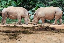 Two Rhinos Fighting