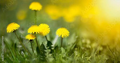 Edible fresh yellow blowball dandelion flowers, spring, summer