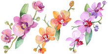 Orchid Bouquets Floral Botanical Flowers. Watercolor Background Illustration Set. Isolated Orchid Illustration Element.