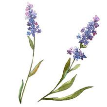Blue Violet Lavender Floral Botanical Flowers. Watercolor Background Set. Isolated Lavender Illustration Element.