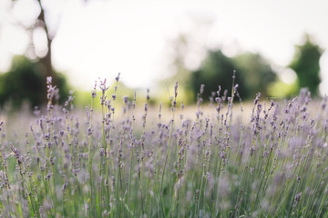 Beautiful lavender flowers closeup in sunny light in meadow. Lavender field in mountains. Aroma herbs. Atmospheric calm rural image. Space for text