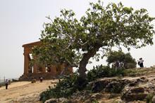 Ulivo E Tempio Della Concordia