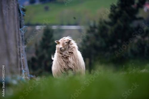 Photo Oveja adulta lanuda de raza vasca azotada por el viento