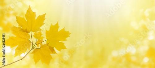 Obraz na plátně  Maple tree leaves autumn horizontal background