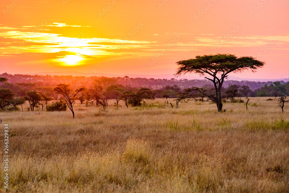 Fototapeta Sunset in savannah of Africa with acacia trees, Safari in Serengeti of Tanzania