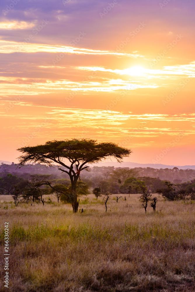 Fototapeta Sunset in savannah of Africa with acacia trees, Safari in Serengeti of Tanzania
