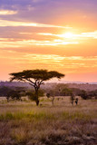 Fototapeta Sawanna - Sunset in savannah of Africa with acacia trees, Safari in Serengeti of Tanzania