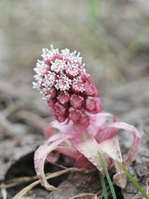 Petasites Hybridus, The Common...