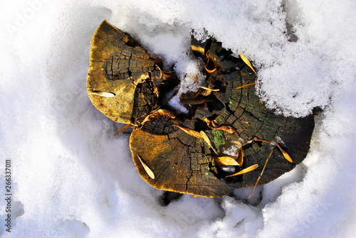 Weird tree sawn stump with acer seeds on snowy meadow, top view Wallpaper Mural