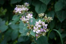 Flowering Boysenberry Plant On...
