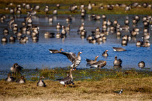Huge Crowd Of Migratory Goose Birds On Flood Land At Field In Countryside.