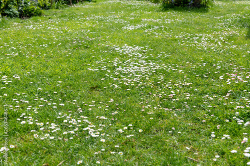 Poster de jardin Marguerites Daisies in the lawn of a garden