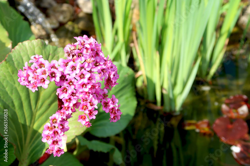 Blooming bergenia flower with blurred garden pond in the background Canvas Print