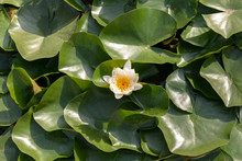 Water Lilies Nymphaeaceae With White Flower Yellow Center