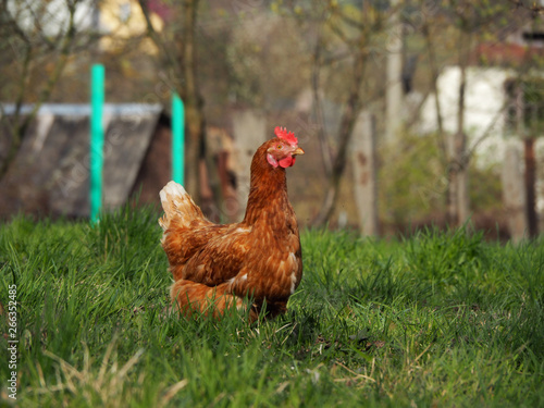 Papiers peints Poules The red hen stands in the middle of a green meadow