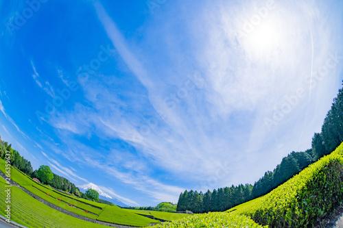 Obraz na plátně  静岡県富士市 大淵笹場の茶畑 お茶まつり 魚眼レンズ