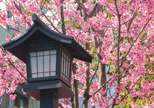 Japanese Old Wood Lantern With Pink Cherry Blossom Sakura Background.