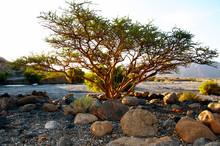 An Acacia Tree Grows In Oman