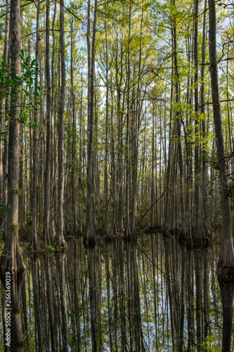 daytime reflections in a Cypress Swamp Wall mural