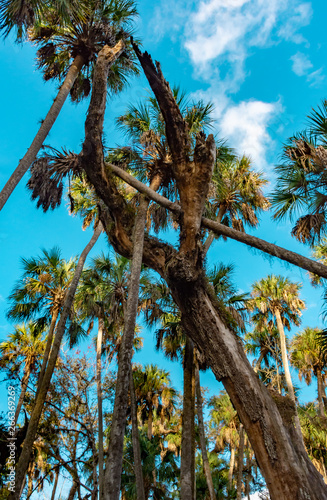 leaning palm trees in the Florida wetlands