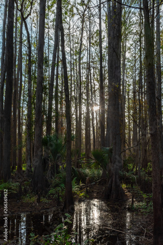sunshine through the trees of a Cypress swamp Wall mural