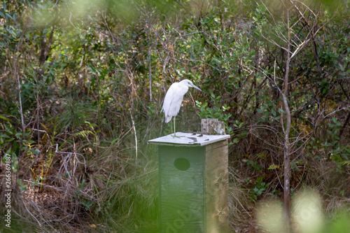 white egret standing on a bird house in wooded wetlands of Florida