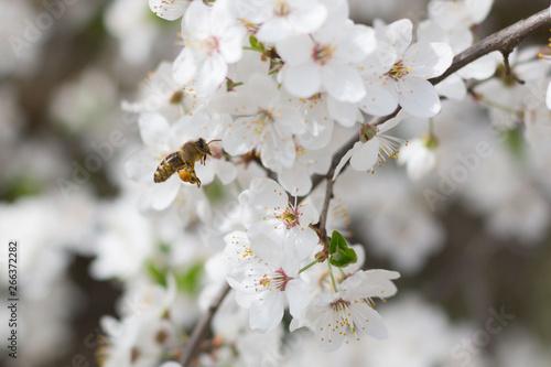 Fototapety, obrazy: Lecąca pszczoła zbliża się do kwiatów wiśni