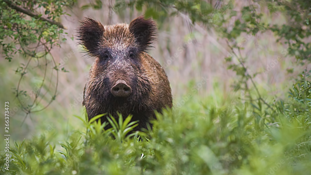 Fototapeta Front view of wild boar, sus scrofa, standing partially hidden in tall vegetation in spring forest. Wild animal in nature facing camera with copy space.