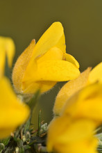 Macro Image Of A Gorse Flower