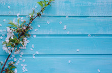 Branch Of Cherry And White Flowers On Blue Wooden Background. Copy Space.