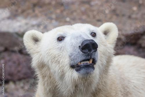 muzzle of a wild animal polar bear Fototapet