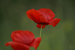 flowers of the blossoming poppy, papaver
