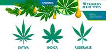 Cannabis Plant Type Vector Illustration.
