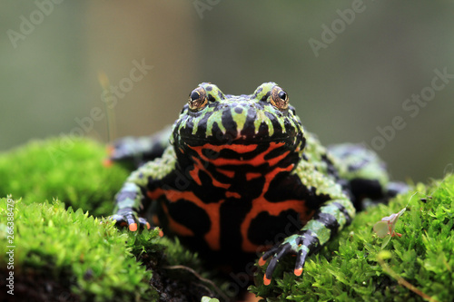 Fire belly toad closeup face