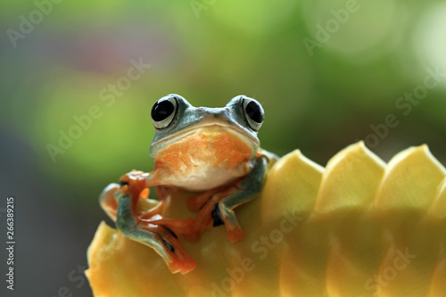 Beautiful flying frog on bud,  Javan tree frog