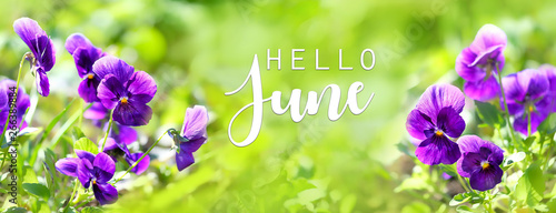 Hello June. Spring blooming Viola flowers in soft focus on light green background outdoor close up. Spring template Viola floral background. Elegant gentle artistic spring flowers image.