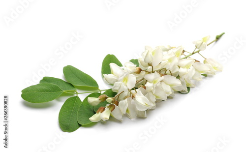 Photo Blossoming acacia with leafs isolated on white background, black locust, Robinia