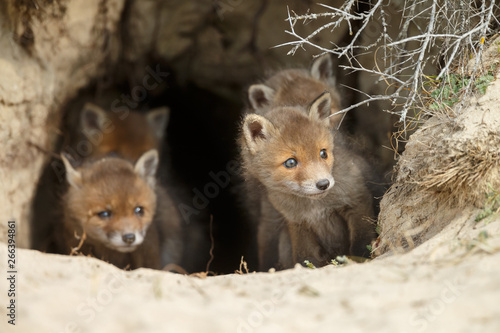 obraz lub plakat Red fox cubs in nature in springtime