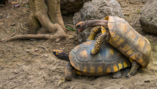 Couple Of Yellow Footed Tortoi...