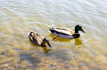 Two Ducks Swim In The Pond
