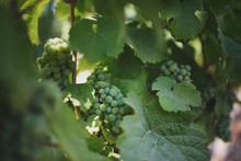Grape Ripening On The Vine In A Vineyard