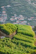 Sugar Cane Field In Madeira